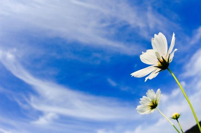 青空を背景にしたコスモスが天にむかって咲いているイメージ写真