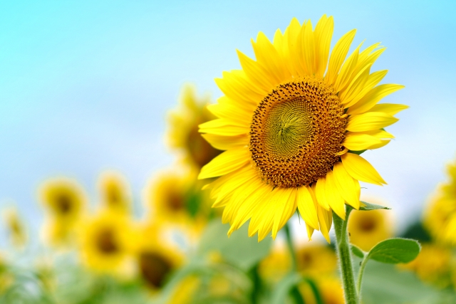 青空に向かってひまわりの花が元気よく咲いているイメージ写真